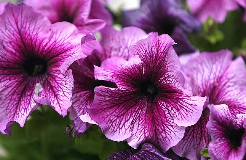 el significado de la flor petunia, que significa las petunias para la mujer