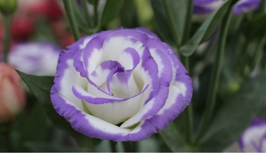 que significa la flor de eustomas