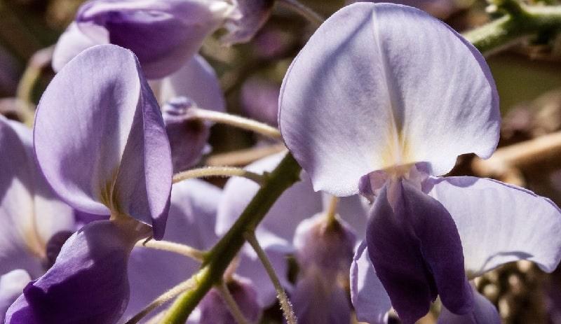 cual es el sicnificado de la flor de glycinas