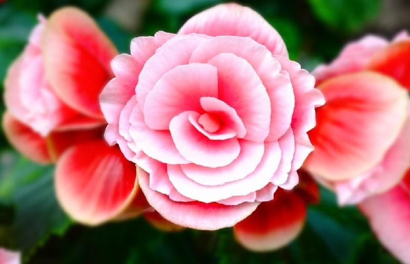 que significan las flores de begomia